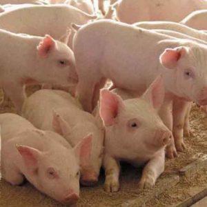 Как построить сарай для свиней: строительство свинарника для поросят и хлева для свиней своими руками