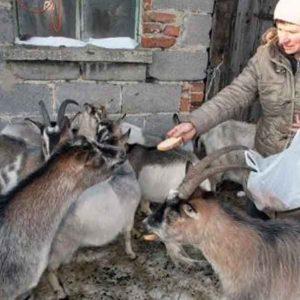 Разведение коз на личном подворье как бизнес