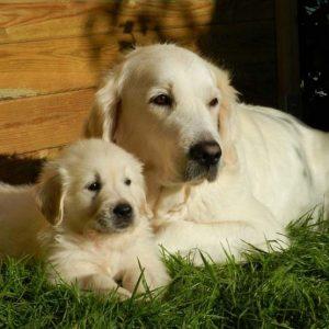 Когда щенок становится взрослой собакой
