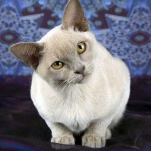 Мозжечковая атаксия у кошек: причины, симптомы