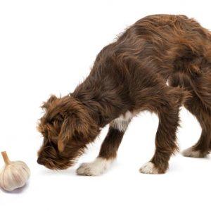 Можно ли давать собаке чеснок