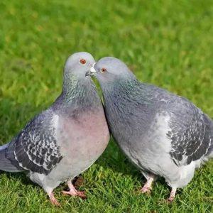 Какой звук издают голуби