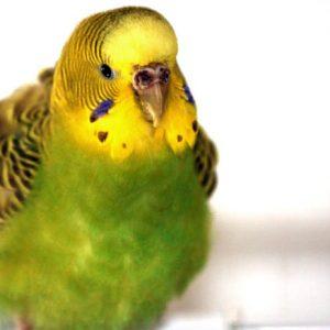 Волнистые попугаи – уход и разведение, болезни и лечение