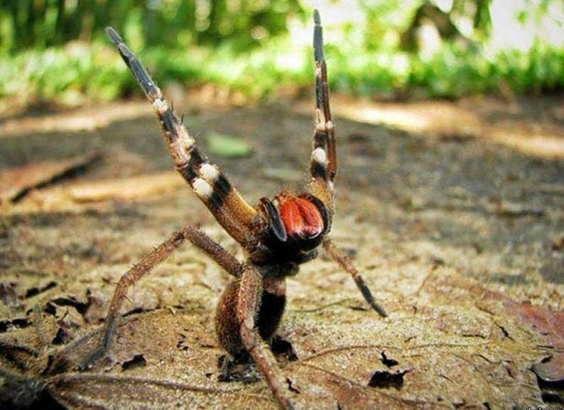 Бразильский паук путешественник