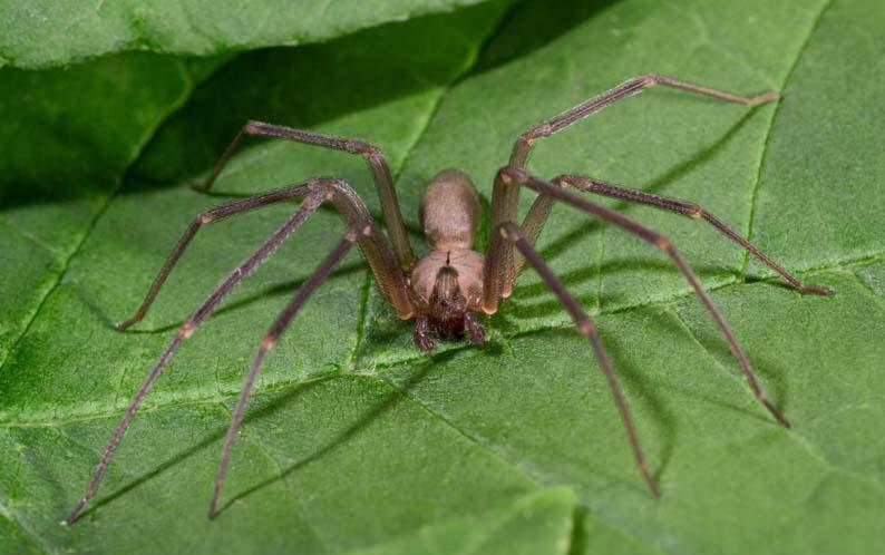 Коричневый паук–отшельник