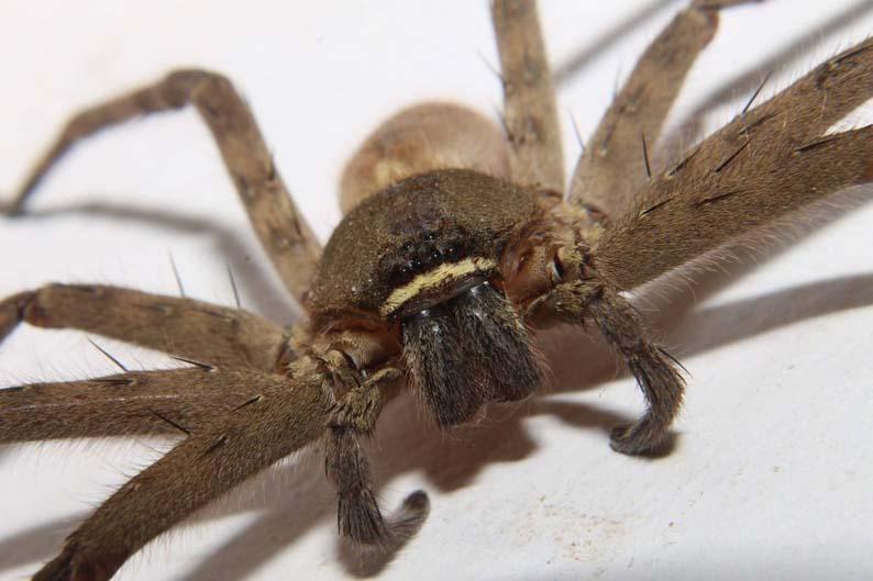 Волосатый паук