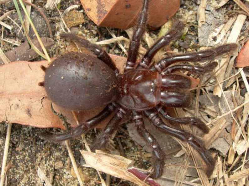 Воронковый или лейкопаутинный паук